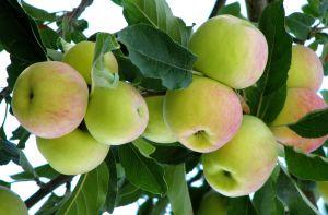 An Apple A Day!!!